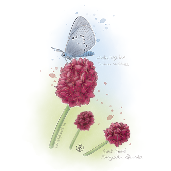 Watercolour painting of great burnet flowers with a dusky large blue butterfly sitting on one.