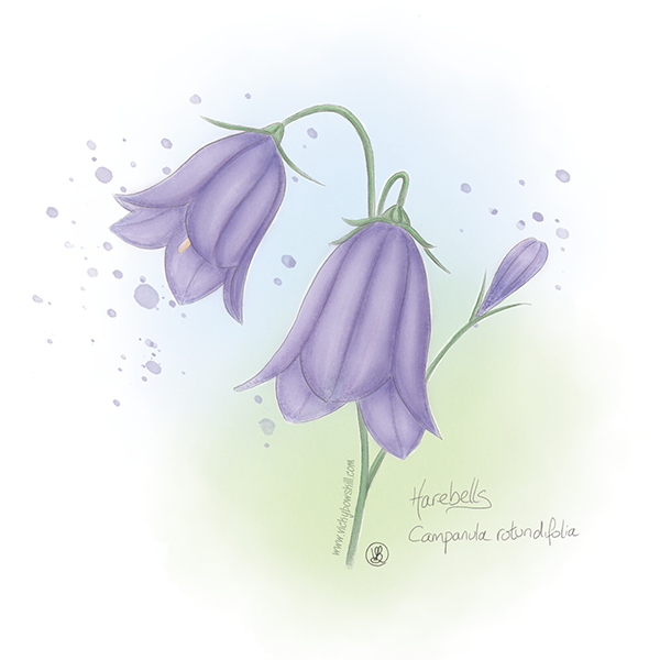 Digital watercolour painting of harebell.