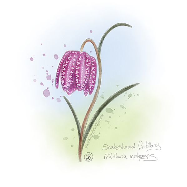 Watercolour painting of snakeshead fritillary flower
