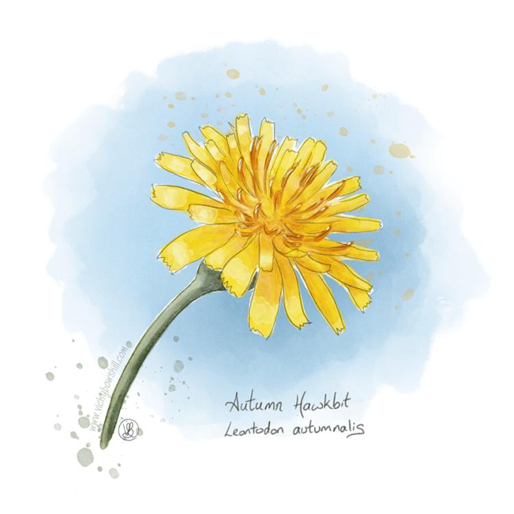 Digital watercolour painting of Autumn Hawkbit.