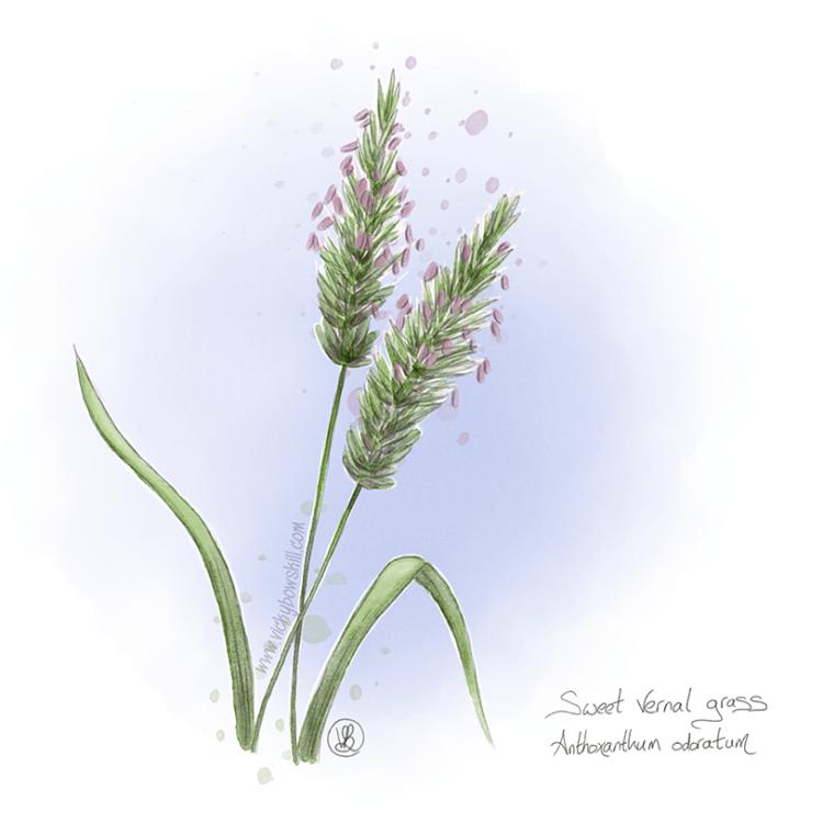 Digital watercolour painting of sweet vernal grass.
